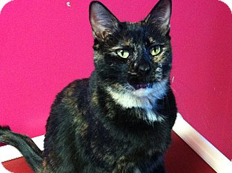 Domestic Shorthair Cat for adoption in Topeka, Kansas - Shelly