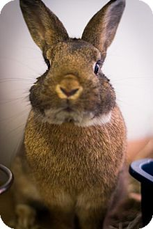 Mini Rex Mix for adoption in Brooklyn, New York - Buster Brown