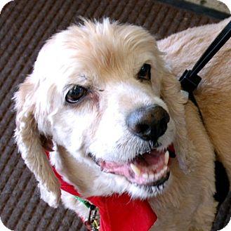 Cocker Spaniel Dog for adoption in Sacramento, California - Sam