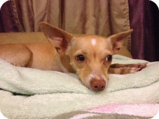 Chihuahua/Terrier (Unknown Type, Medium) Mix Dog for adoption in Homestead, Florida - Lilo - Glorivee