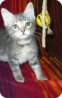 Domestic Shorthair Kitten for adoption in Pueblo West, Colorado - Harry