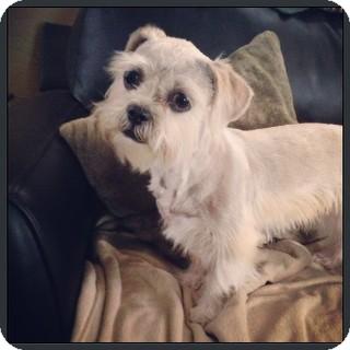 Brussels Griffon/Border Terrier Mix Dog for adoption in Boulder, Colorado - Bebe