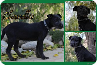 Terrier (Unknown Type, Medium) Mix Puppy for adoption in Pittsburgh, Pennsylvania - Chandler