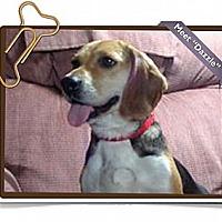 Adopt A Pet :: Dazzle - Portland, OR