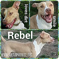 Adopt A Pet :: Rebel - Elderton, PA