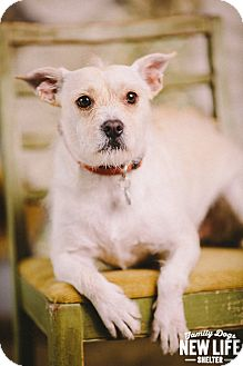 Jack Russell Terrier/Australian Cattle Dog Mix Dog for adoption in Portland, Oregon - Coco