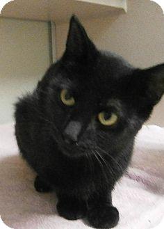 Domestic Shorthair Cat for adoption in Cheboygan, Michigan - Magna