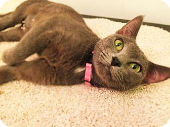 Russian Blue Cat for adoption in Corona, California - NATASHA