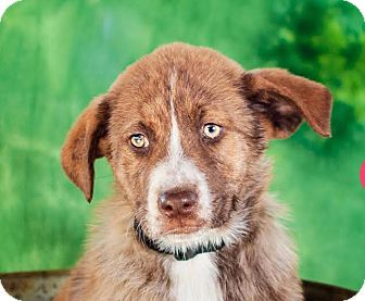 Akita/Rhodesian Ridgeback Mix Puppy for adoption in Cincinnati, Ohio - Redda