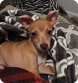 Chihuahua Mix Puppy for adoption in San Francisco, California - Blaze