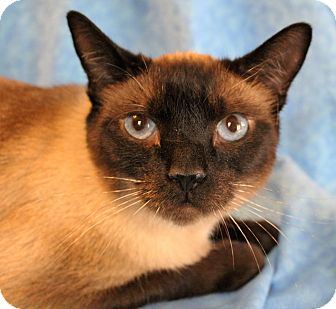 Siamese Cat for adoption in Greensboro, North Carolina - China