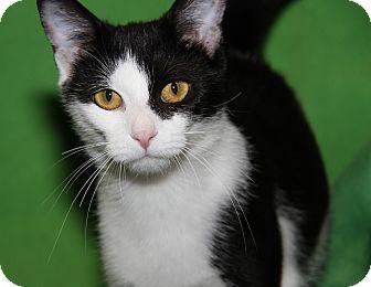 Domestic Shorthair Cat for adoption in Marietta, Ohio - Sookie (Spayed)