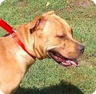 Mastiff/Boxer Mix Dog for adoption in Brunswick, Ohio - Dingo