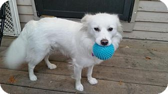American Eskimo Dog Mix Dog for adoption in Saskatoon, Saskatchewan - Ivory