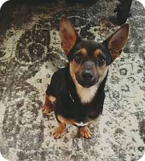 Chihuahua Mix Dog for adoption in New Oxford, Pennsylvania - Meeko