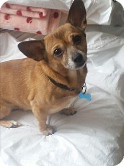 Chihuahua Mix Dog for adoption in Grand Rapids, Michigan - Corky