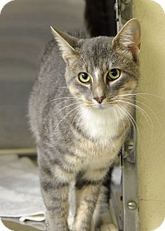 Domestic Shorthair Cat for adoption in Brooksville, Florida - 10310885