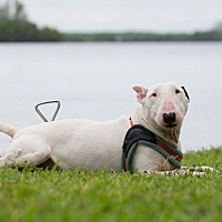 Bull Terrier Dog for adoption in FT. MYERS, Florida - Mollie