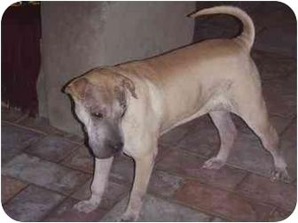 Shar Pei Dog for adoption in Houston, Texas - Cuddles