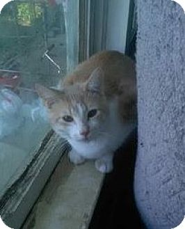 Domestic Shorthair Cat for adoption in Asheville, North Carolina - Tigger- Courtesy Post (McDowell)