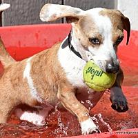 Dachshund Dog for adoption in Spokane, Washington - Adoptable wieners since 1991!