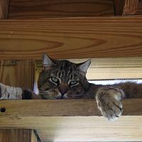 Adopt A Pet :: Pesto - New Milford, CT