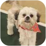 Shih Tzu Mix Dog for adoption in Eatontown, New Jersey - Ellie