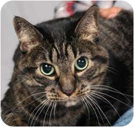 Domestic Shorthair Cat for adoption in Chicago, Illinois - Yuppie