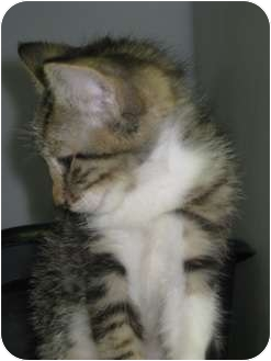 Domestic Shorthair Kitten for adoption in Trenton, New Jersey - Freddy (Courtesy) (Adopted)