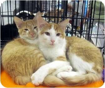 Domestic Mediumhair Kitten for adoption in Overland Park, Kansas - Sunkist