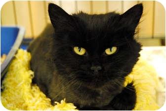 Persian Cat for adoption in Lunenburg, Massachusetts - Miranda