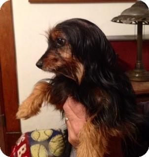 Yorkie, Yorkshire Terrier/Dachshund Mix Dog for adoption in waterbury, Connecticut - Catie