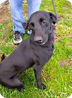 Labrador Retriever/Whippet Mix Dog for adoption in Metamora, Indiana - Taffy