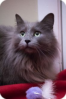Norwegian Forest Cat Cat for adoption in Chicago, Illinois - Frank