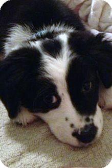 Australian Shepherd/Border Collie Mix Puppy for adoption in Savannah, Georgia - Ziva
