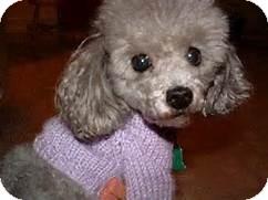 Toy Poodle Mix Dog for adoption in Fremont, Nebraska - cooper