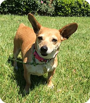 Corgi Mix Dog for adoption in Irvine, California - PETUNIA WITH CUTE VIDEO!