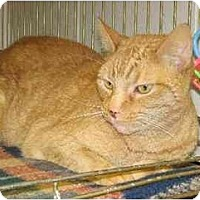 Domestic Shorthair Cat for adoption in Fremont, Michigan - Joey