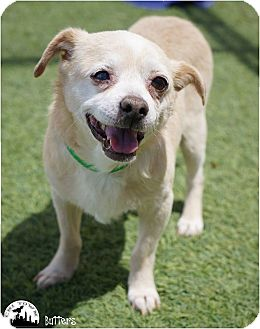 Chihuahua/Pug Mix Dog for adoption in Phoenix, Arizona - Butters: He'll Melt Your Heart