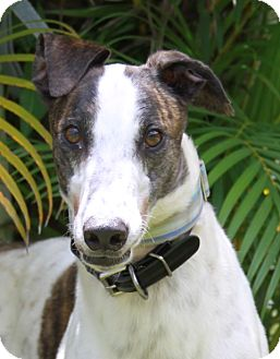 Greyhound Dog for adoption in West Palm Beach, Florida - Turley