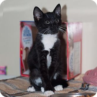 Domestic Shorthair Kitten for adoption in New Martinsville, West Virginia - Patsy