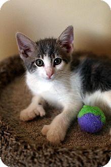 Polydactyl/Hemingway Kitten for adoption in Chandler, Arizona - Misty