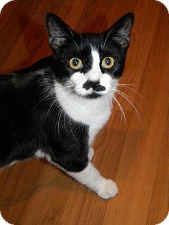 Domestic Shorthair Cat for adoption in Parkville, Missouri - Callie