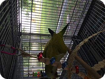 Parakeet - Quaker for adoption in Punta Gorda, Florida - Cinnamon