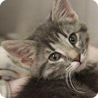 Domestic Shorthair Kitten for adoption in Naperville, Illinois - Alpha