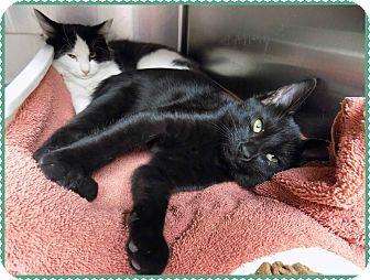 Domestic Mediumhair Kitten for adoption in Marietta, Georgia - CALI & HIACYNTHA