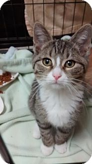 Domestic Shorthair Kitten for adoption in Covington, Kentucky - Mr. Purrs-a-lot