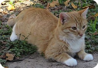 Domestic Shorthair Cat for adoption in Gonzales, Texas - Emily