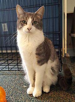 Domestic Shorthair Cat for adoption in Austin, Texas - Addison