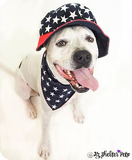 American Bulldog/Boxer Mix Dog for adoption in Phoenix, Arizona - Cain